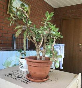 Крассула (Денежное дерево)