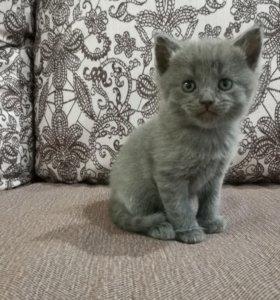 Прямоухие шотландские котята.