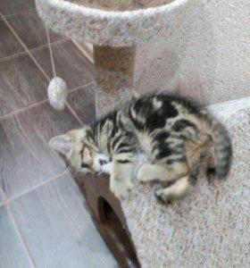 Британские котятки (кошки)