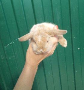 Вислоухий карликовый кролик