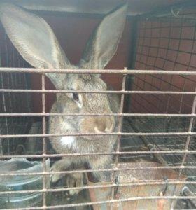 Кролики серый великан