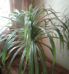 Пальма пандаус вейча высота 1,5 м и 1,0 м