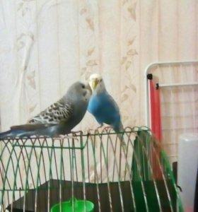 Волнистые попугаи. Самец и самка вместе с клеткой