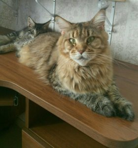 Котята мейн-куна, мейнкун
