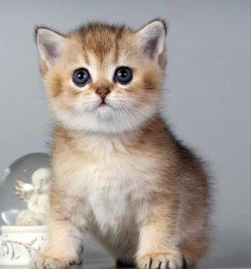 Чистокровный британский котик драгоценного окраса