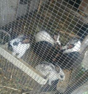 Кролики, без породистые
