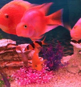 Рыбка красный попугай
