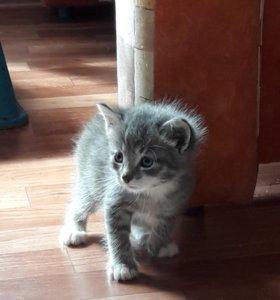 Серебристый голубоглазый кот. 1 мес.