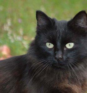 Кастрированный пушистый черный котик