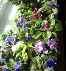 Растения фиалки