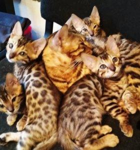 Бенгальские котики