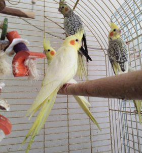 птенцы карелл ручные дружат с кошками