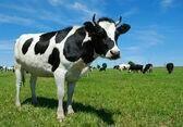 Коровы (6-ти телят и первотелок)