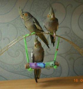 Кореллы птенцы