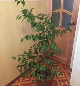 Комнатный цветок Фикус Бенджамина