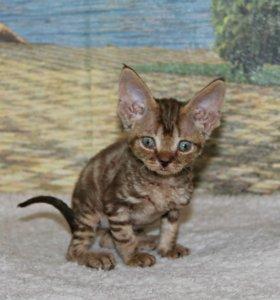 Очаровательные котята девон-рекс
