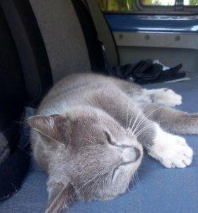 Серо-белая кошка 1,5 лет