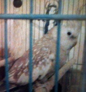 Попугай карелла девочка