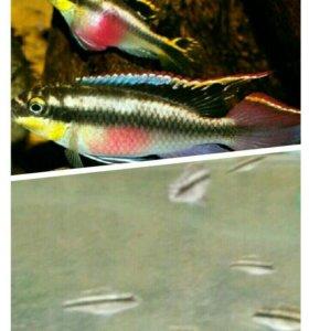Подростки попугайчиков (пельвикахромис пульхер)