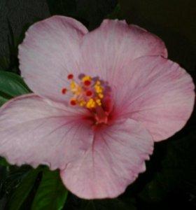 Гибискус розовый и красный махровый.сиреневый