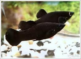 Black Molly (Черная Моллинезия)