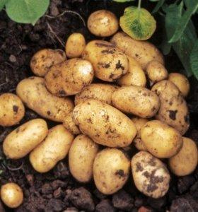 Картофель Картошка