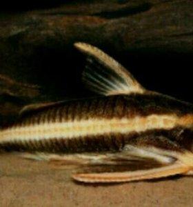 Аквариумные рыбки платидорас костатус