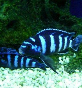 Аквариумные рыбки Демансони