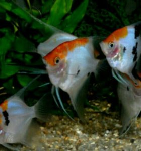 Аквариумные рыбки скалярия кои