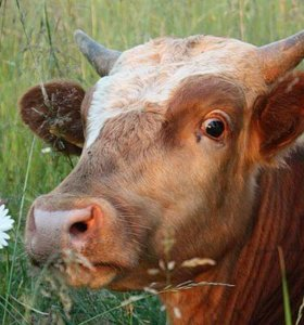Дойную корову