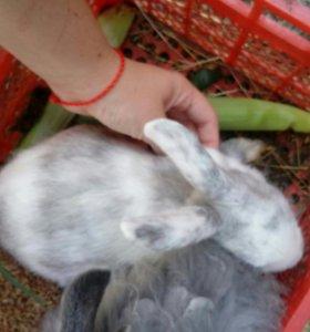 Карликовые кроли