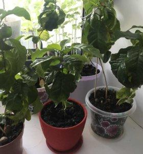 Растения, деревья кофе