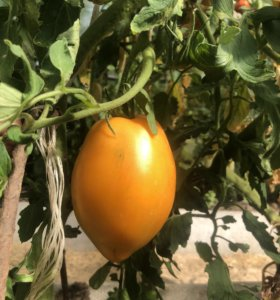 Свойские помидоры