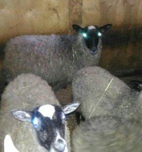 Шерсть Романовских овец