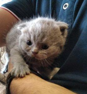 Продаются котята веслоухие