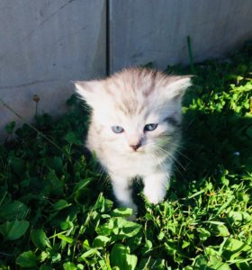 Котята в добрые руки от кошки британской породы