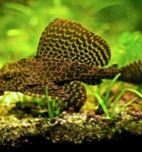 Аквариумные рыбки сомик парчевый