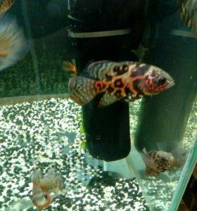 Аквариумные рыбки Асронотус вуалевый