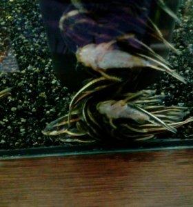 Аквариумные рыбы сомик плацидорас
