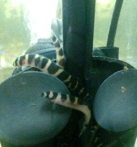 Аквариумные рыбы Акантатальмус