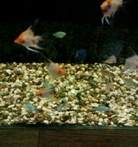 Аквариумные рыбы Скалярия кои
