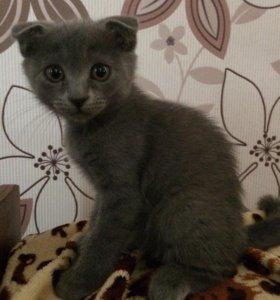 Шоткадский котёнок