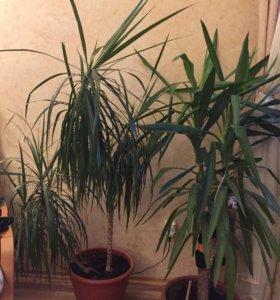 Драцена (пальма)