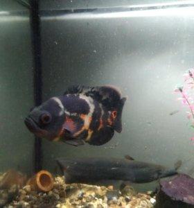 Продам рыб для большого аквариума