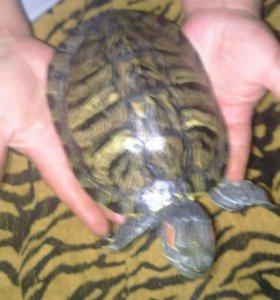 Красноухие черепахи с аквариумом на 120 литров