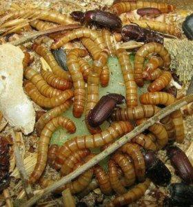 Мучной червь