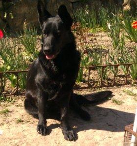 Чёрная немецкая овчарка