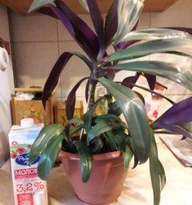 Взрослое растение Рео фиолетовый