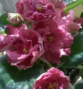 Фиалка Пепельная роза