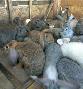 Кролики гиганты породы Ризен (мальчики и девочки)